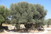Ελαιόδεντρο, Αζοριά,  Ιεράπετρα